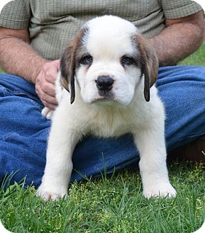 St. Bernard Puppy for adoption in Bellflower, California - Jax