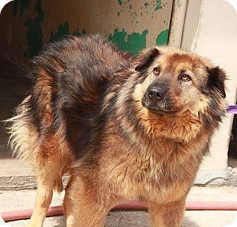 Collie/Chow Chow Mix Dog for adoption in Harrisonburg, Virginia - Brandy !!$300 Adoption Fee!!