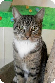 Domestic Shorthair Cat for adoption in McHenry, Illinois - Roger