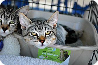 Domestic Shorthair Kitten for adoption in Temecula, California - Twix