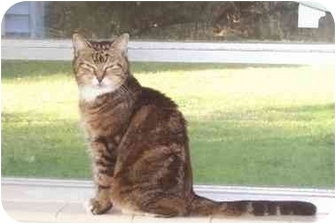 Domestic Mediumhair Cat for adoption in Riverview, Florida - Annie