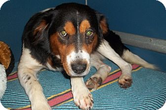 Collie Mix Dog for adoption in Warrenton, North Carolina - Hank