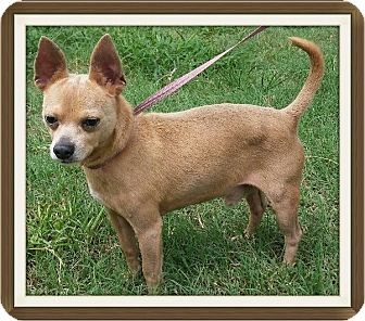 Chihuahua Mix Dog for adoption in Houston, Texas - Fonzie
