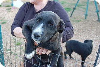 Border Collie Mix Puppy for adoption in Lebanon, Tennessee - Nova