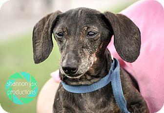 Dachshund Mix Dog for adoption in Gainesville, Florida - Angel
