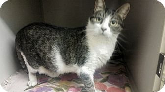 Domestic Shorthair Cat for adoption in Indianola, Iowa - Mrs. Beasley