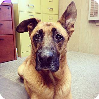 Great Dane Mix Dog for adoption in Santa Barbara, California - Moto