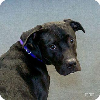 Labrador Retriever/Boxer Mix Dog for adoption in Naperville, Illinois - Kobie