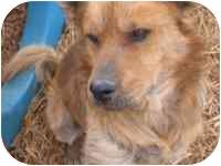 Shar Pei Mix Dog for adoption in Carrollton, Texas - Cody