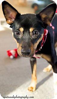 Australian Kelpie/Miniature Pinscher Mix Dog for adoption in Worcester, Massachusetts - Katrina