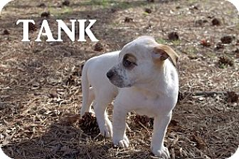 Labrador Retriever Mix Puppy for adoption in Austin, Texas - Tank