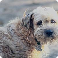 Adopt A Pet :: Buttercup - Norwalk, CT