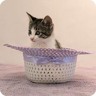 Domestic Shorthair Kitten for adoption in Houston, Texas - Catalina