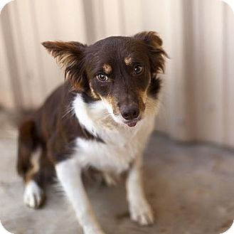Australian Shepherd Dog for adoption in GRANBURY, Texas - Shy