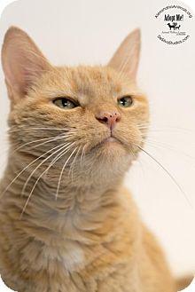 Domestic Shorthair Cat for adoption in Alexandria, Virginia - Riley