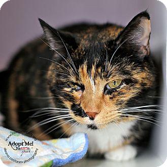 Domestic Shorthair Cat for adoption in Lyons, New York - Francine