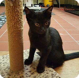 Bombay Kitten for adoption in Edgewater, New Jersey - Indigo