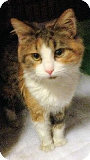 Maine Coon Cat for adoption in Buford, Georgia - Victoria