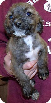 Terrier (Unknown Type, Small) Mix Puppy for adoption in Corona, California - PIPER