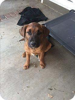 Labrador Retriever/German Shepherd Dog Mix Puppy for adoption in Studio City, California - Flash