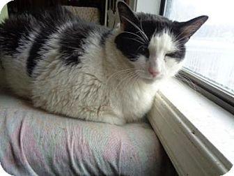 Domestic Shorthair Cat for adoption in Breinigsville, Pennsylvania - Danny Doodles