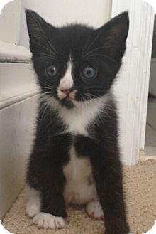 Domestic Shorthair Kitten for adoption in Reston, Virginia - Kari