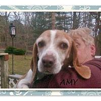 Adopt A Pet :: AMY - Ventnor City, NJ
