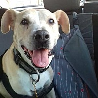 Labrador Retriever Mix Dog for adoption in BONITA, California - Bonit