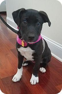 Labrador Retriever/Border Collie Mix Puppy for adoption in Ooltewah, Tennessee - Luna