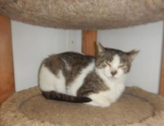 Domestic Shorthair/Domestic Shorthair Mix Cat for adoption in Erie, Pennsylvania - 9791 Esther