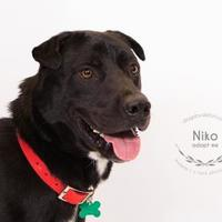 Adopt A Pet :: Niko - Kansas City, MO