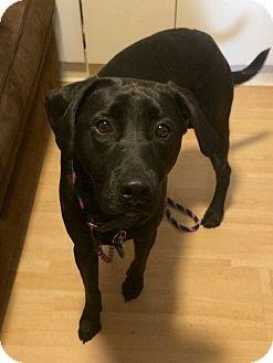 Labrador Retriever Mix Dog for adoption in East Hartford, Connecticut - Strider in CT