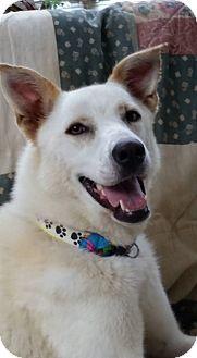 German Shepherd Dog Mix Dog for adoption in Portland, Maine - Crystal