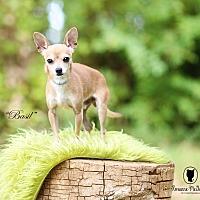 Adopt A Pet :: Basil - Lubbock, TX