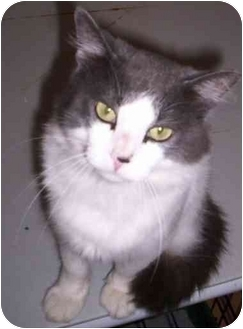 Maine Coon Cat for adoption in Flagstaff, Arizona - Batman