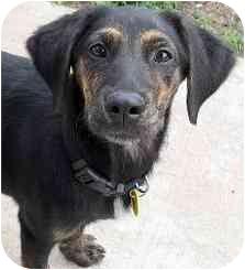 Labrador Retriever Mix Puppy for adoption in Evergreen, Colorado - Titan