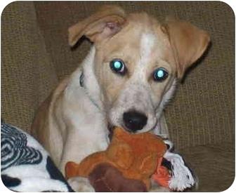 Labrador Retriever/Australian Cattle Dog Mix Puppy for adoption in Buffalo, New York - Pillsbury: Loves Kids!