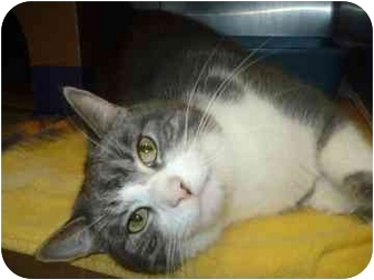 Domestic Shorthair Cat for adoption in Barrie, Ontario - Stephanie (Declawed)