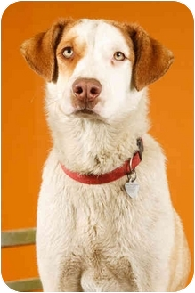 Brittany/Labrador Retriever Mix Dog for adoption in Portland, Oregon - Jasmine
