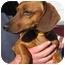 Photo 2 - Dachshund Dog for adoption in Garden Grove, California - QUINCY