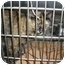 """Photo 1 - Domestic Longhair Cat for adoption in MARION, Virginia - """"Tammy"""""""