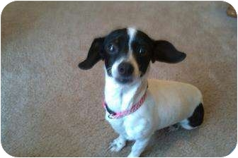 Chihuahua/Dachshund Mix Dog for adoption in San Angelo, Texas - Abby