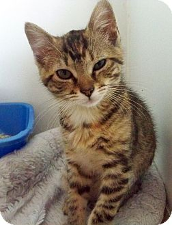 Domestic Shorthair Kitten for adoption in Secaucus, New Jersey - Jessica