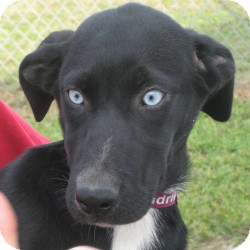 Flat-Coated Retriever/Australian Shepherd Mix Puppy for adoption in Lewisburg, Tennessee - Sissy