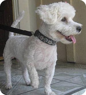 Bichon Frise Mix Dog for adoption in Poway, California - AMIRA