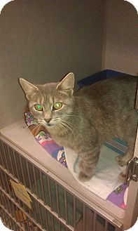 Domestic Shorthair Cat for adoption in New London, Wisconsin - Myrtle
