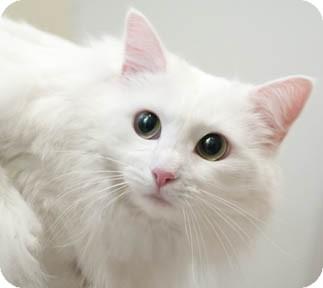 Turkish Angora Cat for adoption in Chicago, Illinois - Mia