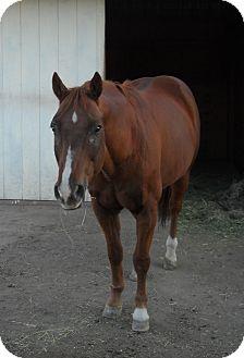 Quarterhorse Mix for adoption in Larskpur, Colorado - Skipper
