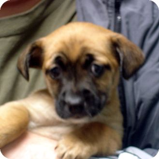 Spaniel (Unknown Type)/Dachshund Mix Puppy for adoption in Greencastle, North Carolina - Raya