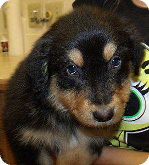 Australian Shepherd/Rottweiler Mix Puppy for adoption in Corona, California - SUNSET PUPS F